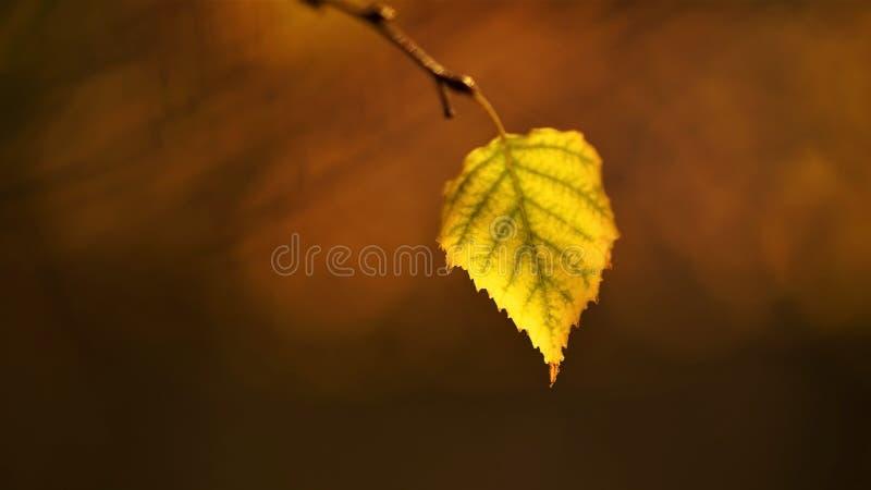 Jesieni brzozy liść w górę gałąź dalej, zamazany naturalny tło obrazy royalty free