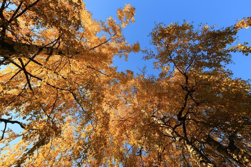 Jesieni brzozy nad niebieskim niebem obrazy stock