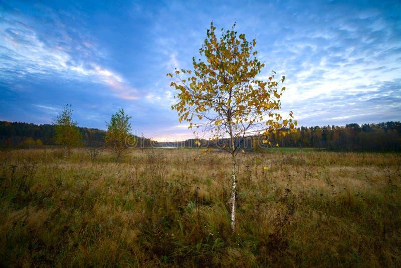 Jesieni brzozy w śródpolnej scenerii na ranku z lasem w tle zdjęcia stock