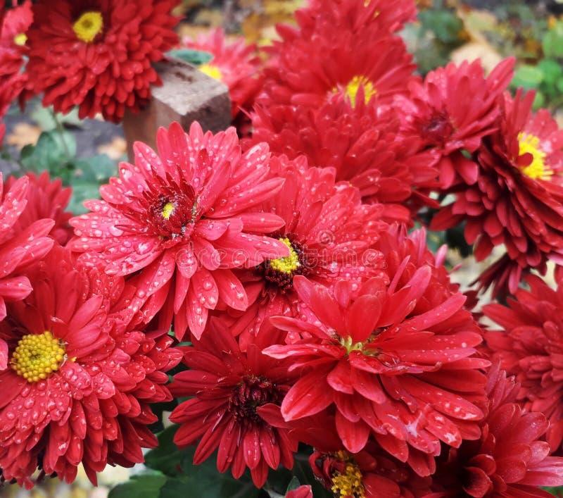 Jesieni chryzantemy kwiaty obrazy stock