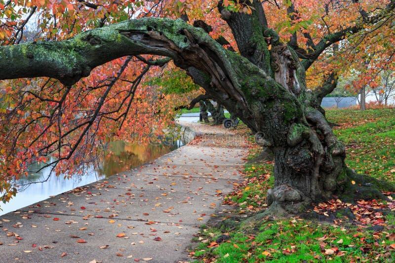 Jesieni Czereśniowego drzewa Potomac Pływowego basenu washington dc fotografia royalty free