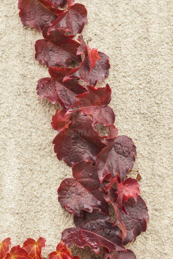 Jesieni czerwieni bluszcz zdjęcie stock