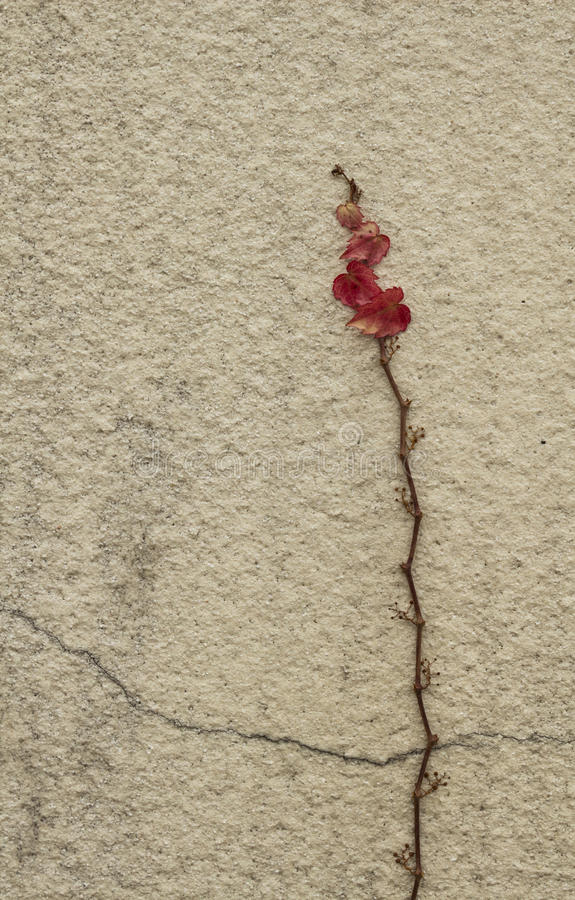 Jesieni czerwieni bluszcz zdjęcia stock