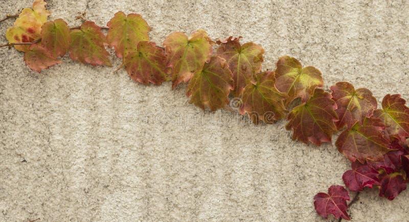 Jesieni czerwieni bluszcz obrazy royalty free