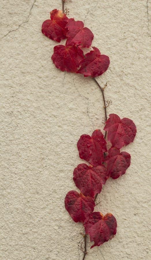 Jesieni czerwieni bluszcz fotografia stock