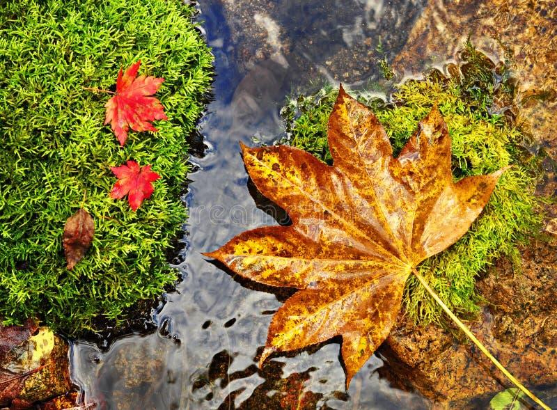 Jesieni, czerwieni i koloru żółtego liście na mech srones, dzika rzeka obrazy stock