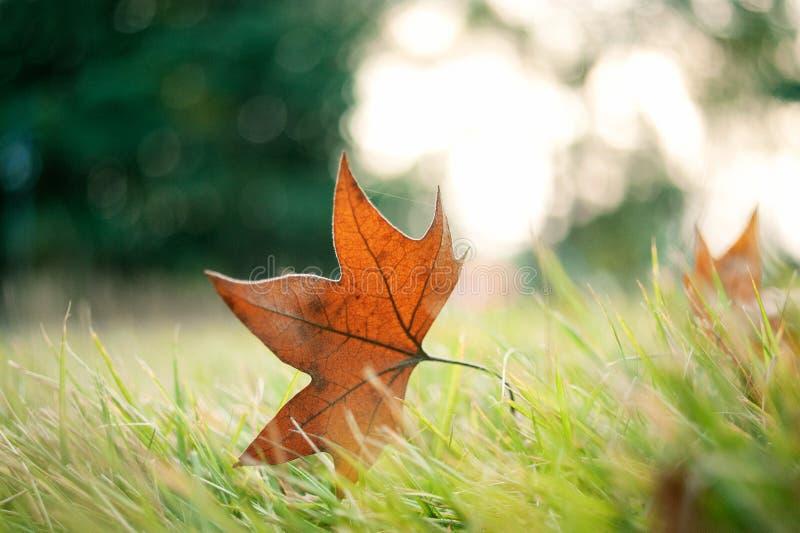 Jesieni czerwieni liść obraz royalty free