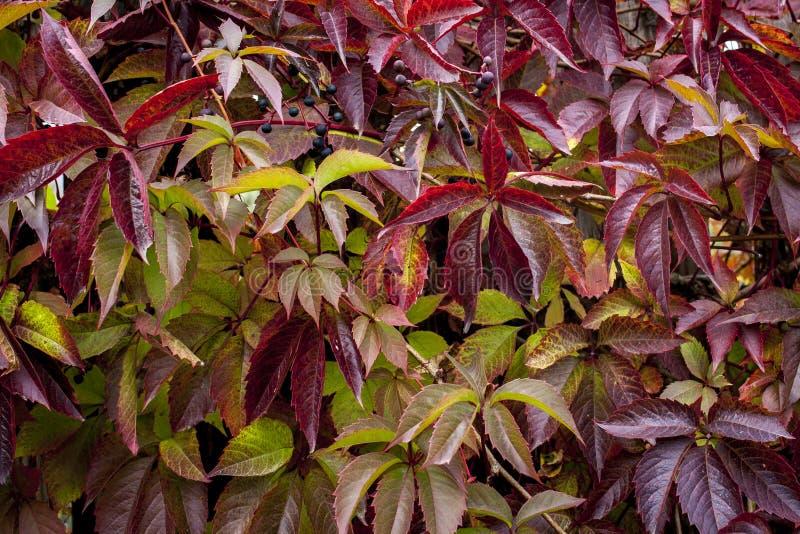 Jesieni czerwieni zieleni bluszcza Hedera helix opuszcza tło obraz royalty free