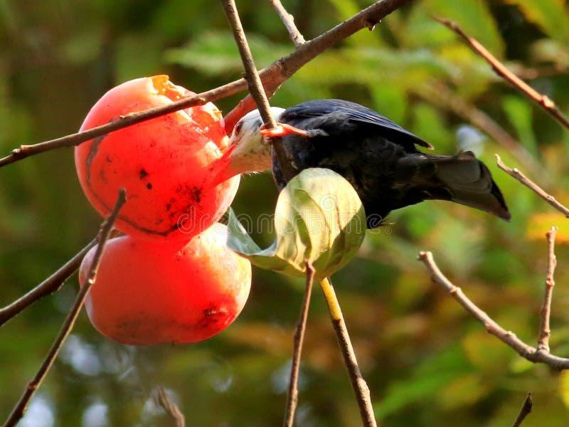 Jesieni czerwony persimmon przyciąga wiele ptaki obraz stock