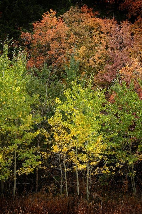 Jesieni drzew Osikowy spadek Barwi Złotych liście i Białą bagażnika klonu rewolucjonistkę zdjęcie royalty free