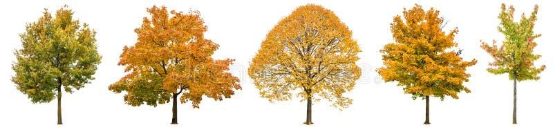Jesieni drzewa odizolowywali białego tła Dębowy klonowy lipowego zdjęcie stock