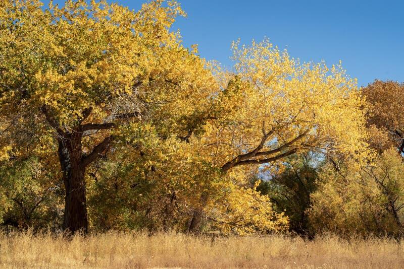Jesieni drzewa z kolorem żółtym opuszczają w polu brąz trawa zdjęcie royalty free
