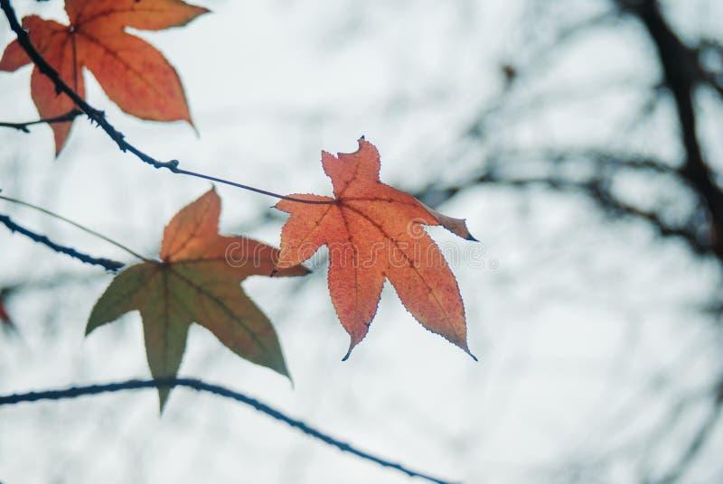 Jesieni drzewo Opuszcza obwieszenie fotografia royalty free