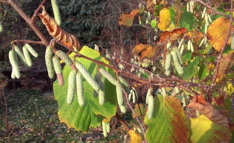 Jesieni drzewo w wczesnym poranku jesienny dzień opuszczać melancholicznego kolor żółty zdjęcia stock