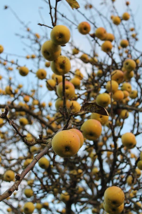 Jesieni jabłka obraz stock