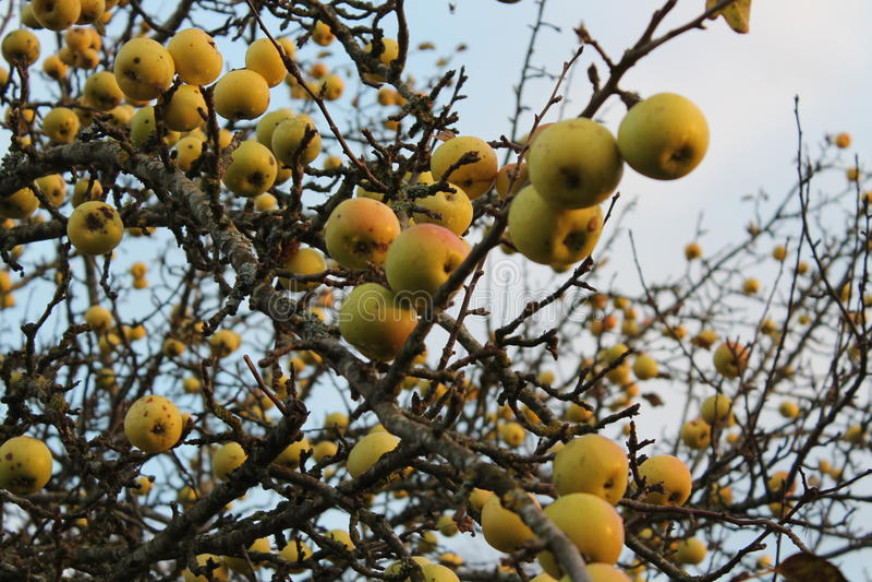 Jesieni jabłoń zdjęcie stock