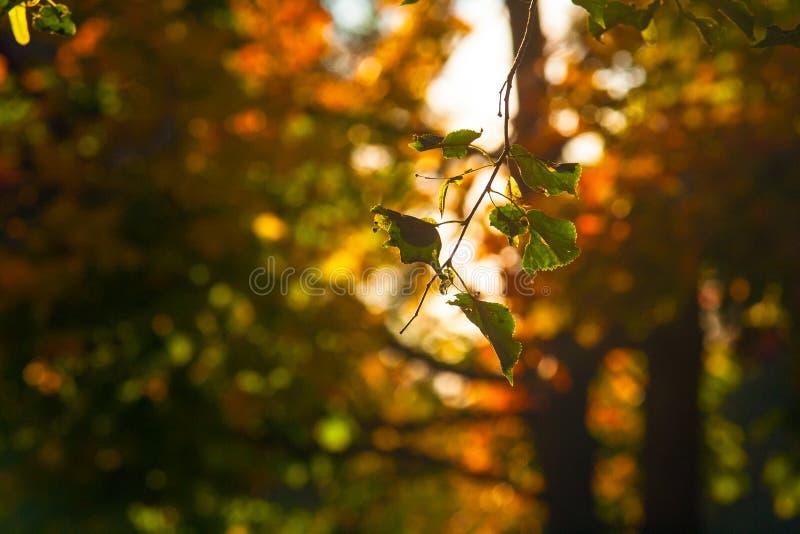 Jesieni klonowego †'piękna gałąź drzewo z kolorem żółtym, pomarańcze, czerwienią i zielenią, opuszcza w parku zdjęcia stock