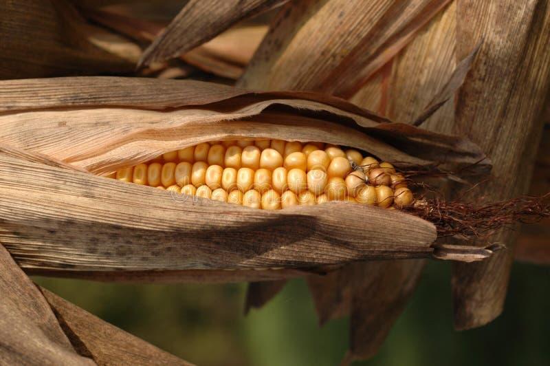 Jesienią kolby kukurydzy