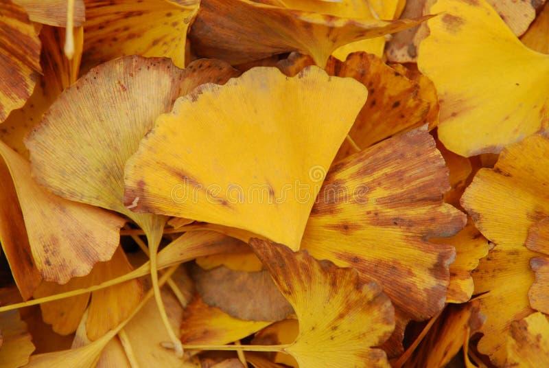 Jesieni kolor żółty liście fotografia stock