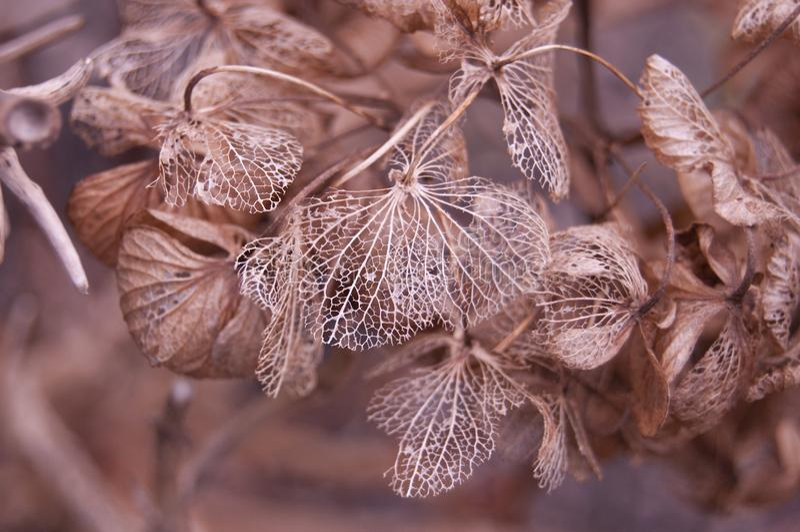 Jesieni koronkowa hortensja zdjęcie royalty free
