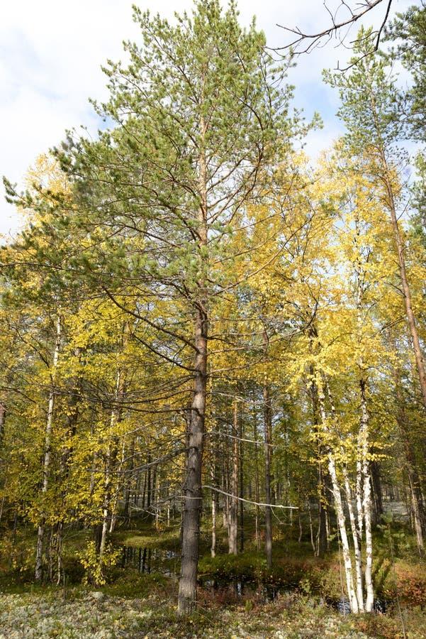 Jesieni krajobrazowa Rosyjska lasowa tundra zdjęcie royalty free