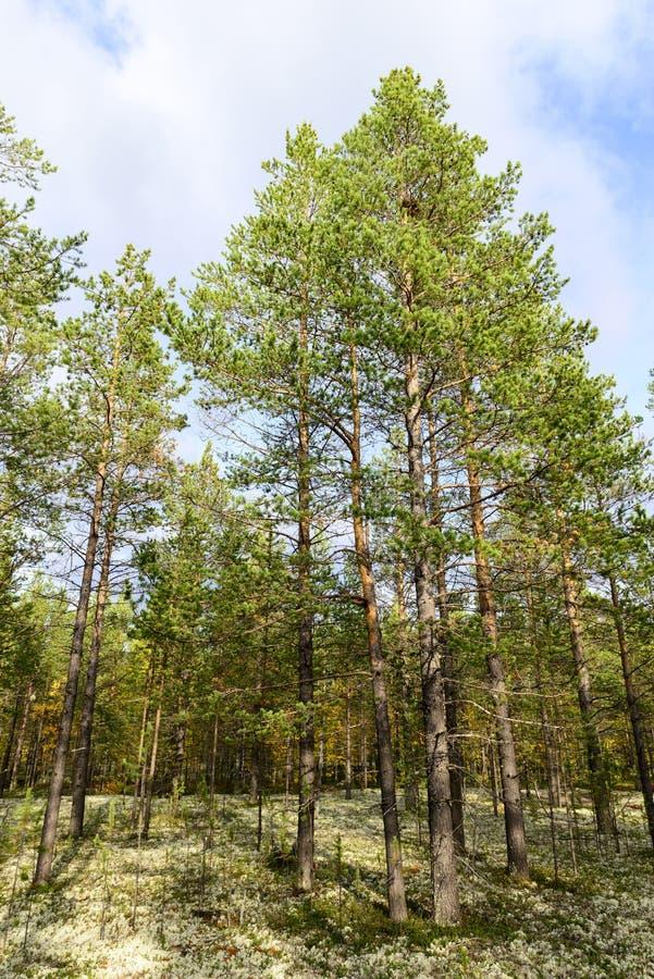 Jesieni krajobrazowa Rosyjska lasowa tundra obraz stock