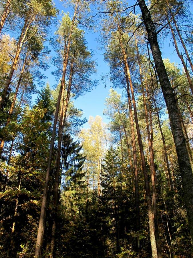 Jesieni lasowa Złocista brzoza błękitne niebo obraz royalty free