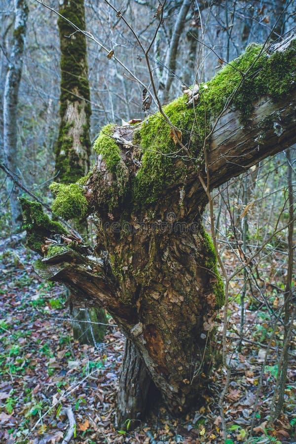 Jesieni lasowych drzew mech na drzewie obrazy royalty free