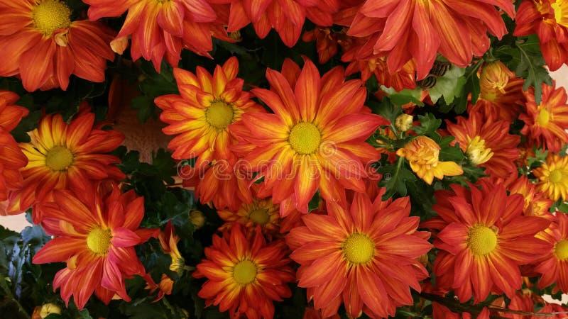 Jesieni mums zdjęcie royalty free