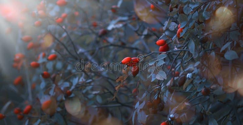 Jesieni naturalny tło z dzikimi roślinami w błękitnych tonowanie kolorach z pomarańcze psa różanymi jagodami i luksusowym ulistni fotografia royalty free