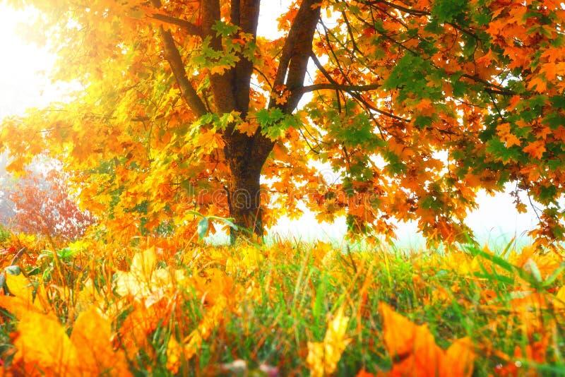 Jesieni natury krajobraz kolorowe drzewo jesienny dzie? opuszcza? melancholicznego kolor ? zdjęcie stock
