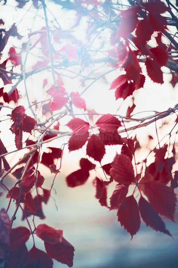 Jesieni natury tło z czerwonymi liśćmi Virginia pełzacz zdjęcie stock
