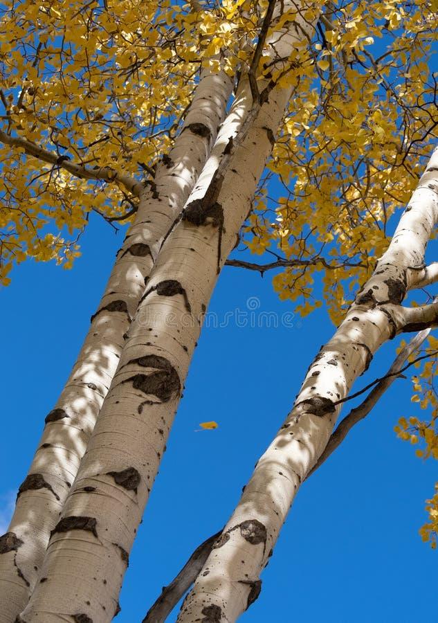 Jesieni Osikowi drzewa Spod Spodu obraz royalty free
