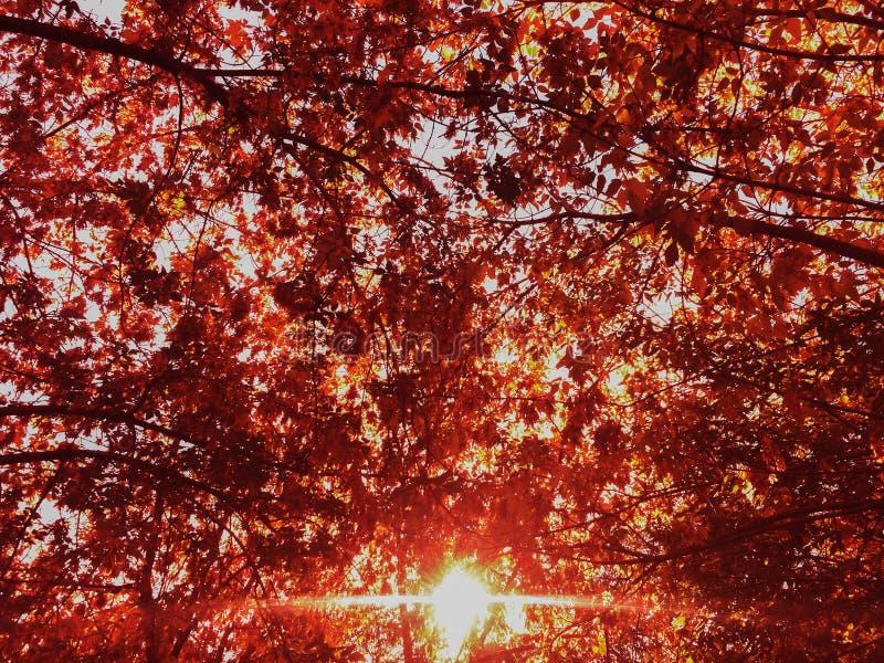 Jesieni parkowa czerwień spadać opuszcza słonecznego dnia tło obraz stock