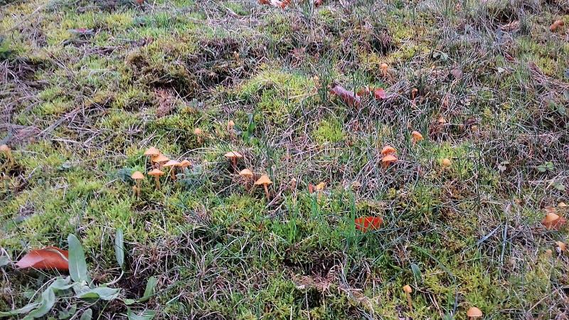 Jesieni pieczarki wczesna wiosna Zielona trawa w jesieni obraz royalty free