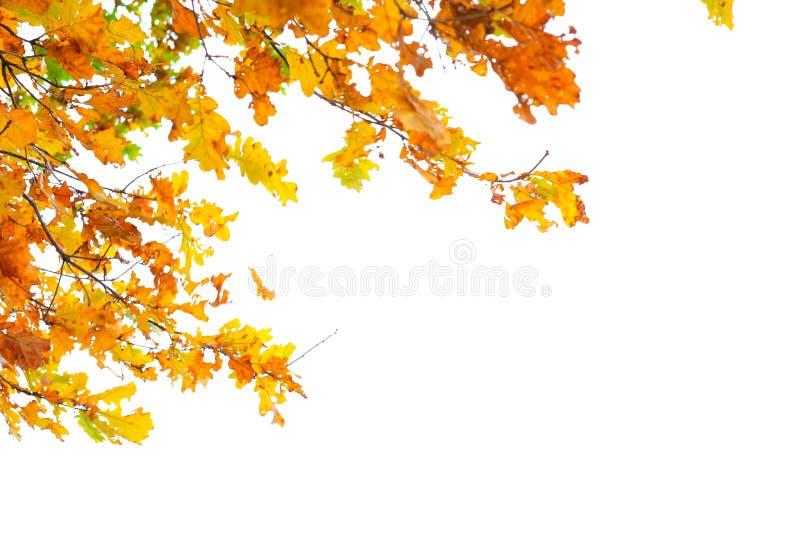 Jesieni pomarańcze liście na białym tle zdjęcie royalty free