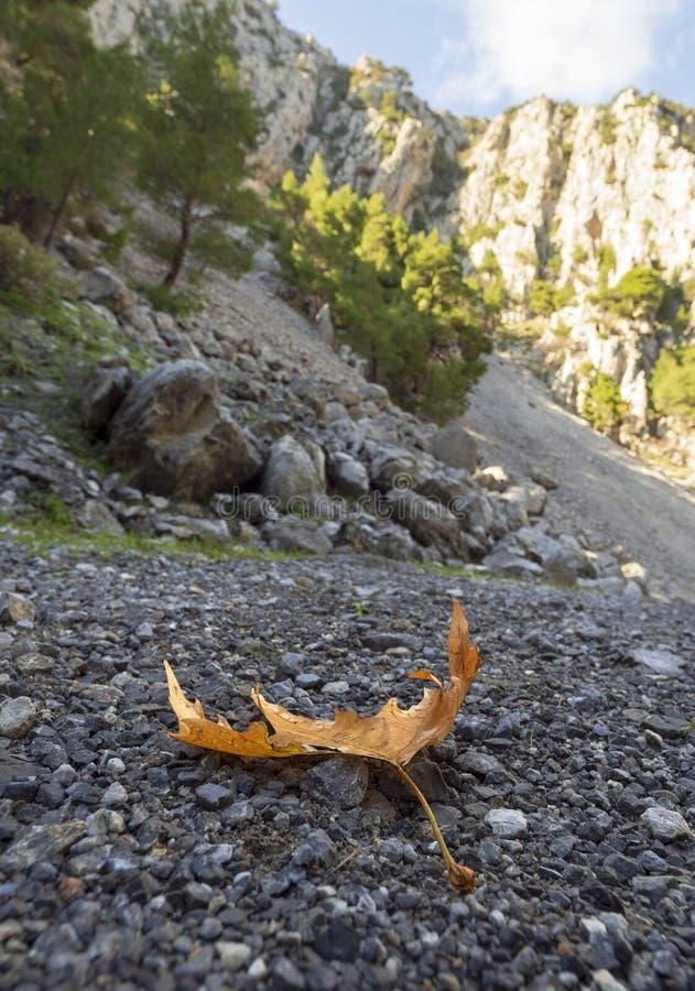 Jesieni prześcieradło płaski drzewo kłama na kamieniach w wąwozie na słonecznym dniu na wyspie w Grecja zdjęcie stock