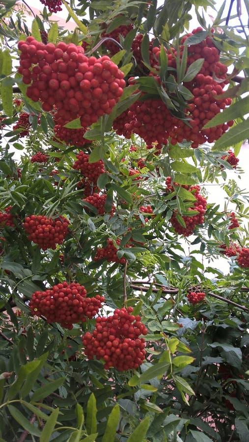 Jesieni rowanberry palenia kolory obrazy stock