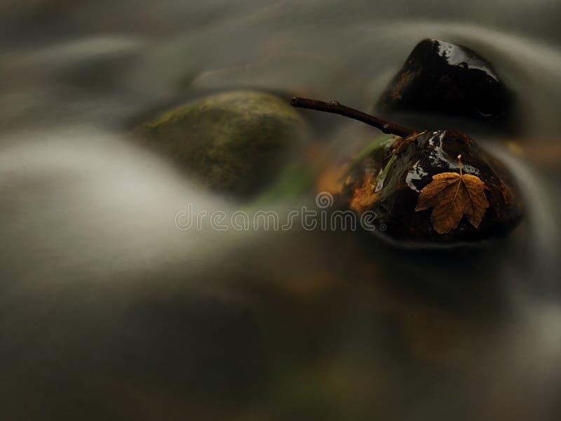 Jesieni rzeka Śmiertelny żółty liść klonowy na bazalta kamieniu w zimnej wodzie rzeka obraz royalty free
