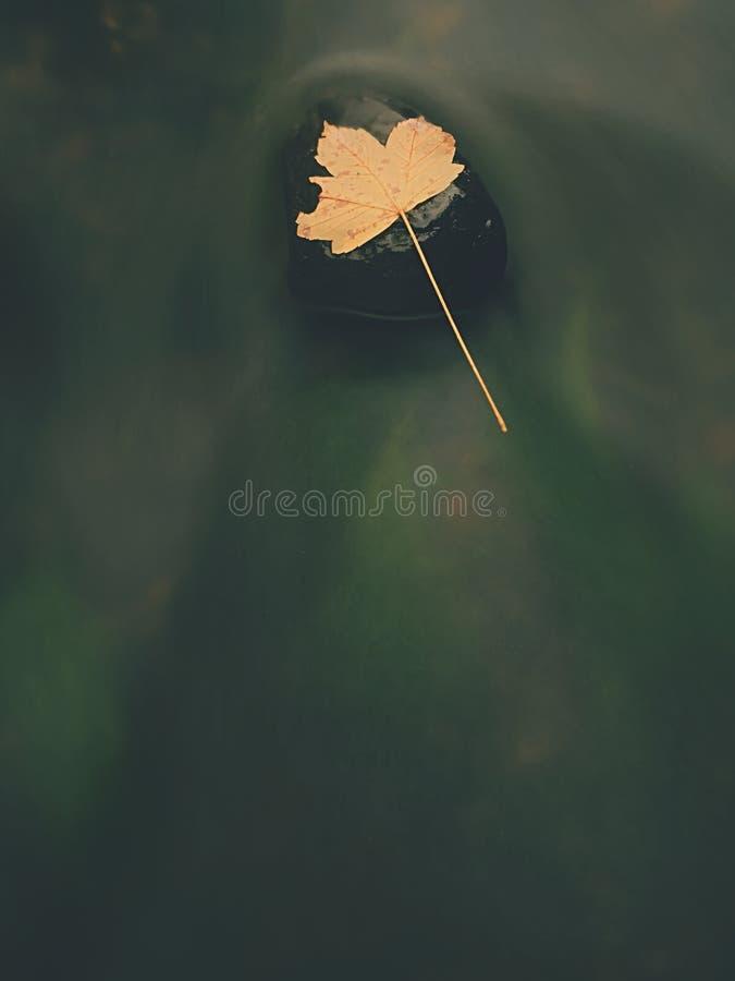 Jesieni rzeka Śmiertelny żółty liść klonowy na bazalta kamieniu w zimnej wodzie rzeka zdjęcia royalty free