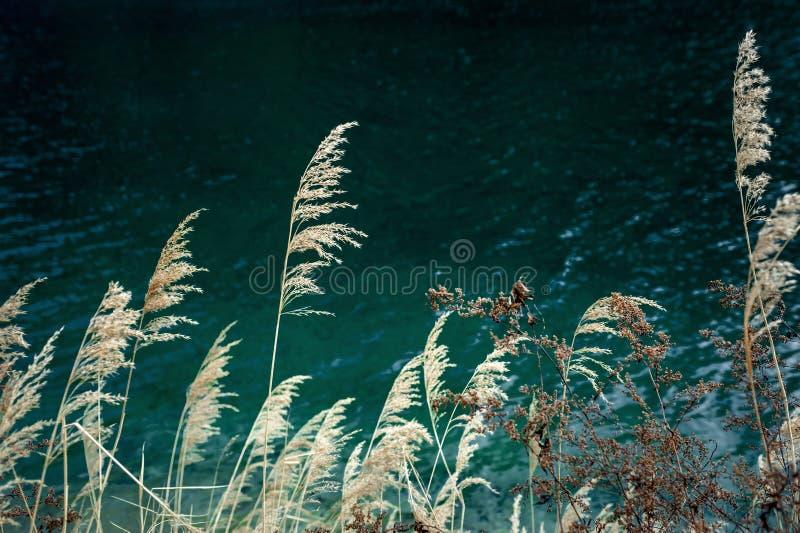 Jesieni trzcinowego brzeg jeziora ciep?y kontrast fotografia royalty free