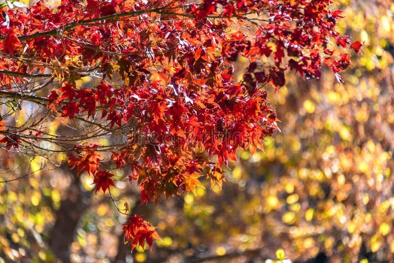 Jesieni ulistnienia tło zostaw klonowego czerwonego drzewa zdjęcie royalty free