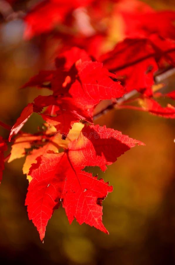 Jesieni ulistnienie zdjęcia royalty free