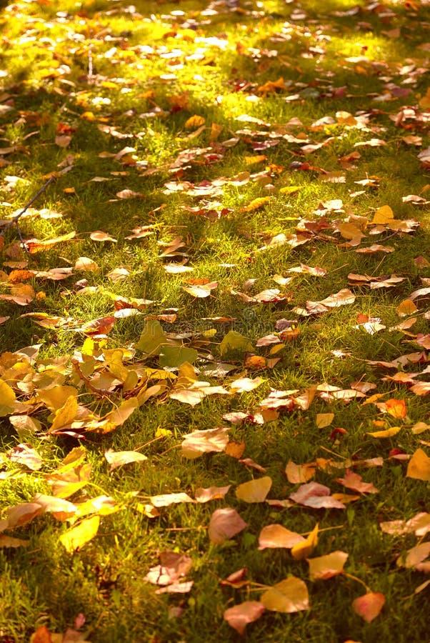 Jesieni wapno opuszcza na zielonej trawie na zmierzchu zdjęcie stock