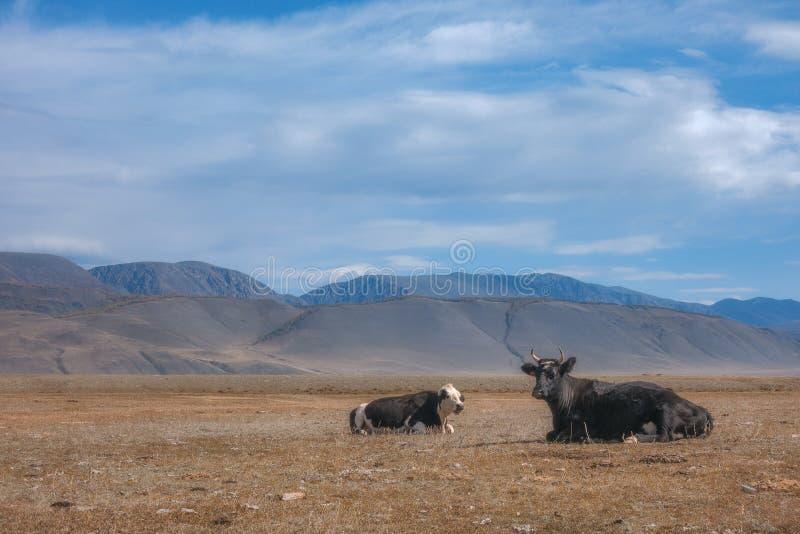 Jesieni wsi krajobraz z krowami pasa na wzgórzach w trawy polu fotografia stock