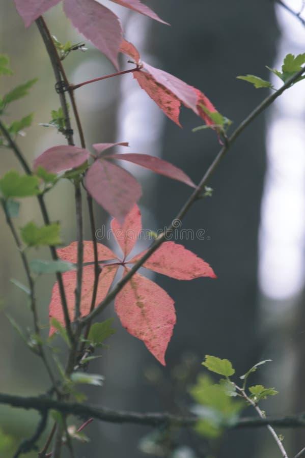 jesieni złoto barwiący opuszcza w jaskrawym świetle słonecznym - rocznika stary spojrzenie obraz royalty free