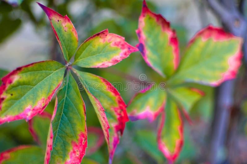 Jesienna gałąź z czerwonymi liśćmi dzicy winogrona w zamazanym zielonym tle obraz stock