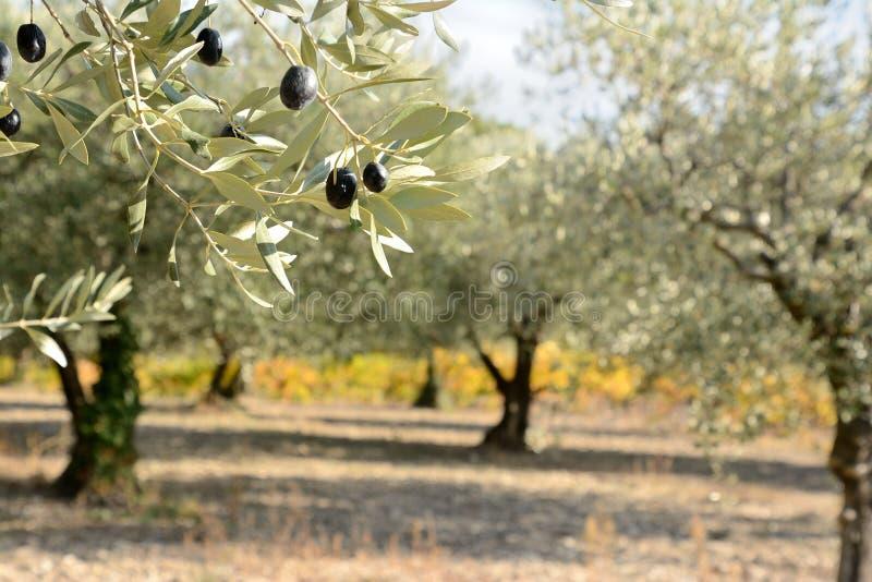 Jesienna gałązka oliwna z oliwnym gajem i winorośl w plecy fotografia stock