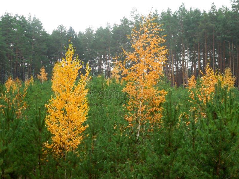 Jesienne lasowe brzozy z żółtymi liśćmi przeciw tłu zielone sosny obrazy stock