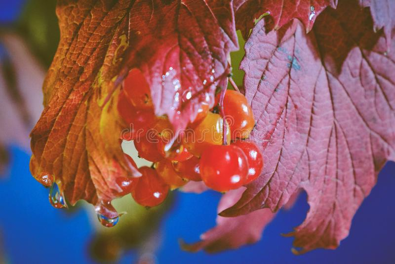 Jesienne liście i krople wody zdjęcie stock
